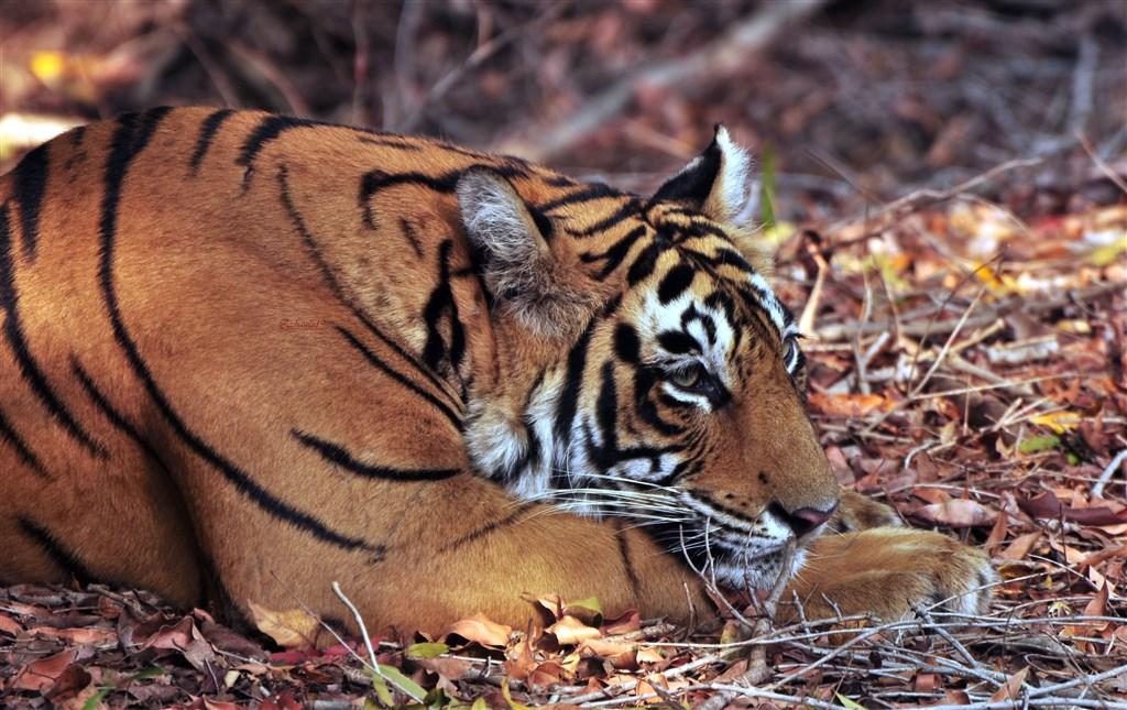 To nejlepší z Indie + tygři v Ranthambore -