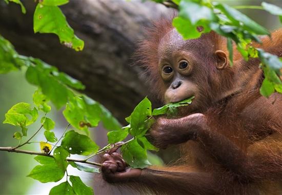 Za orangutany na Borneo - Borneo